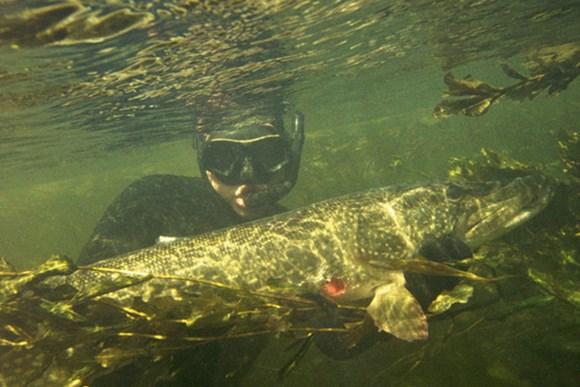 подводная охота на щуку фото