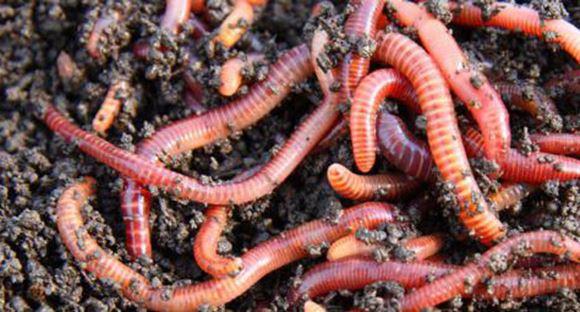 выращивание червей на рыбалку