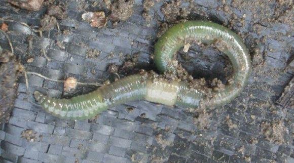 червь железняк фото