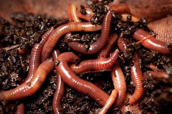 червь навозный фото
