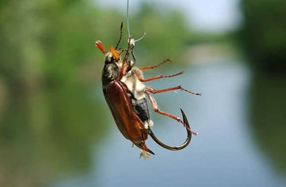 майский жук отличная наживка
