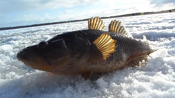 зимняя ловля ротана фото