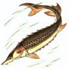 Атлантический осетр Acipenser sturio