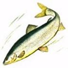 НЕЛЬМА, подвид белорыбица Stenodus leucichthys (подвид leucichthys)