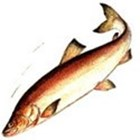 НЕЛЬМА, подвид нельма Stenodus leucichthys (подвид nelma)